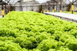 Preview lettuce 139602 1920